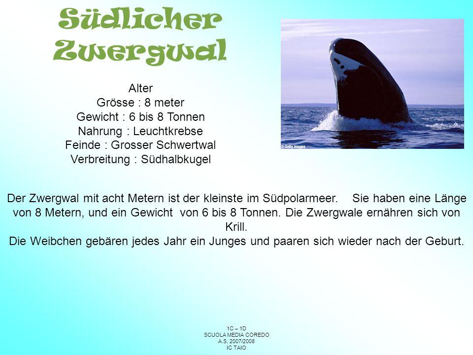 Südlicher Zwergwal Alter Grösse : 8 meter Gewicht : 6 bis 8 Tonnen