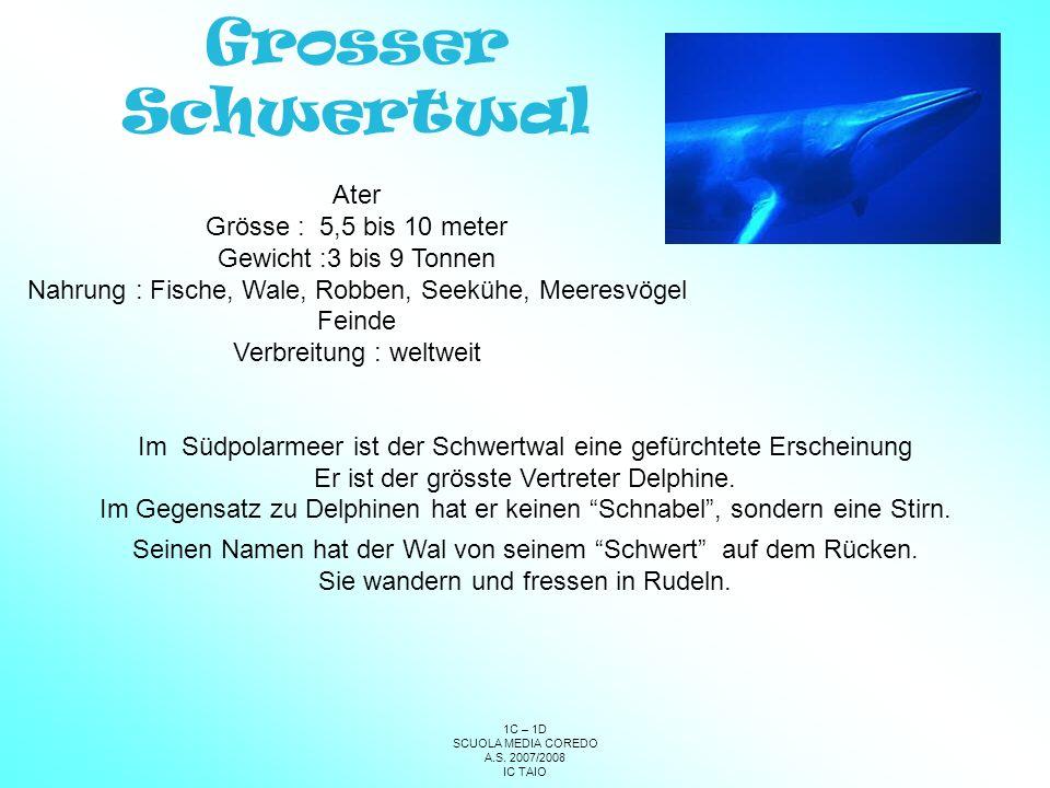 Grosser Schwertwal Ater Grösse : 5,5 bis 10 meter