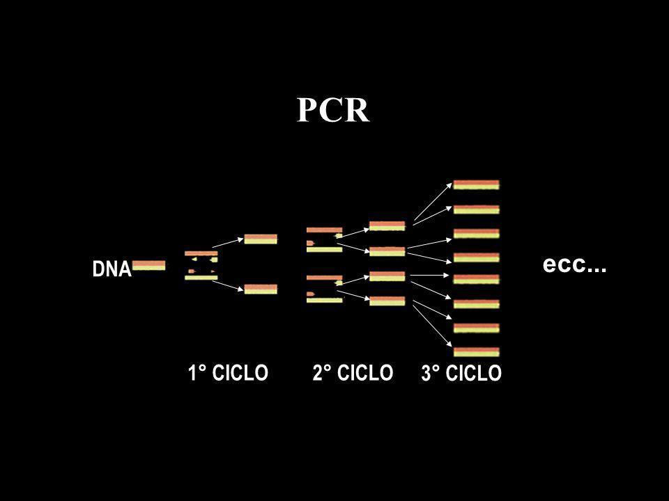 PCR DNA 1° CICLO 2° CICLO 3° CICLO ecc...