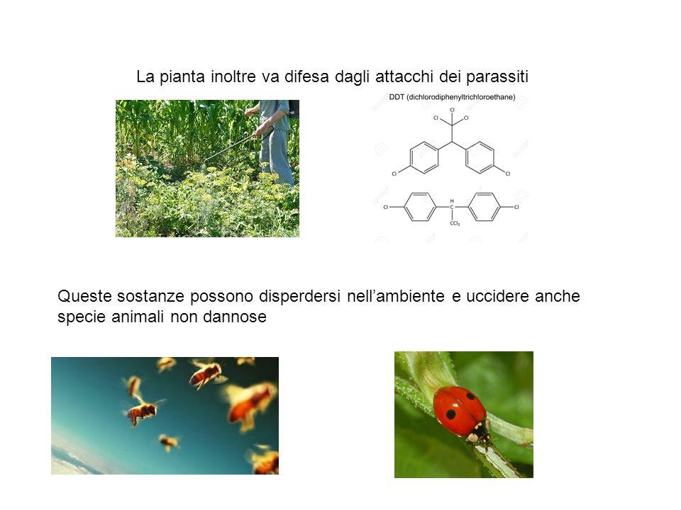 La pianta inoltre va difesa dagli attacchi dei parassiti