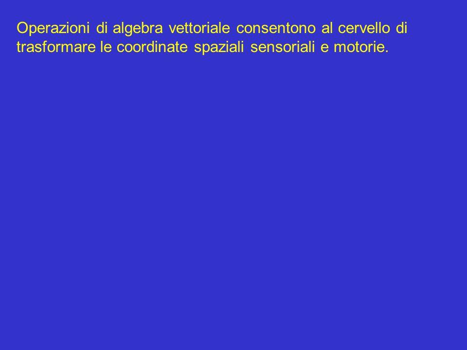 Operazioni di algebra vettoriale consentono al cervello di trasformare le coordinate spaziali sensoriali e motorie.