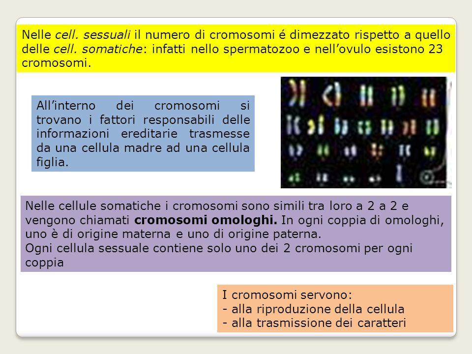 Nelle cell. sessuali il numero di cromosomi é dimezzato rispetto a quello delle cell. somatiche: infatti nello spermatozoo e nell'ovulo esistono 23 cromosomi.