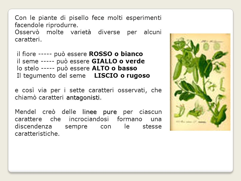 Con le piante di pisello fece molti esperimenti facendole riprodurre.