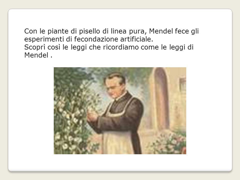 Con le piante di pisello di linea pura, Mendel fece gli esperimenti di fecondazione artificiale.