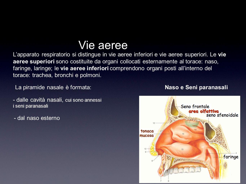 Apparato respiratorio ppt scaricare for Interno del naso
