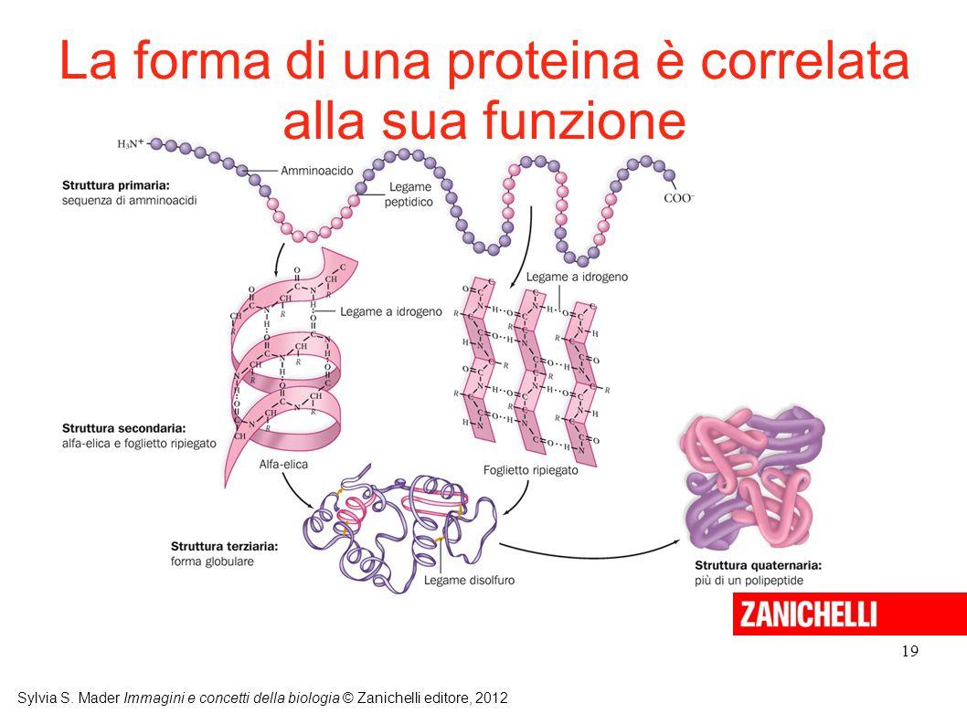 La forma di una proteina è correlata alla sua funzione