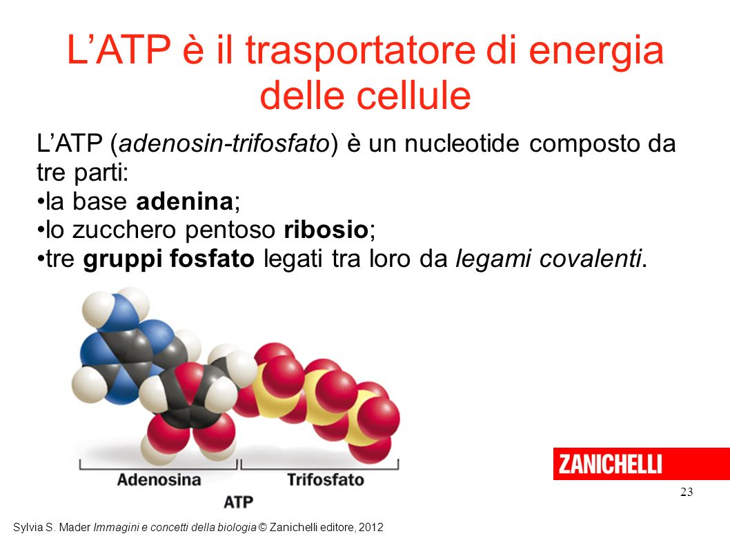 L'ATP è il trasportatore di energia delle cellule