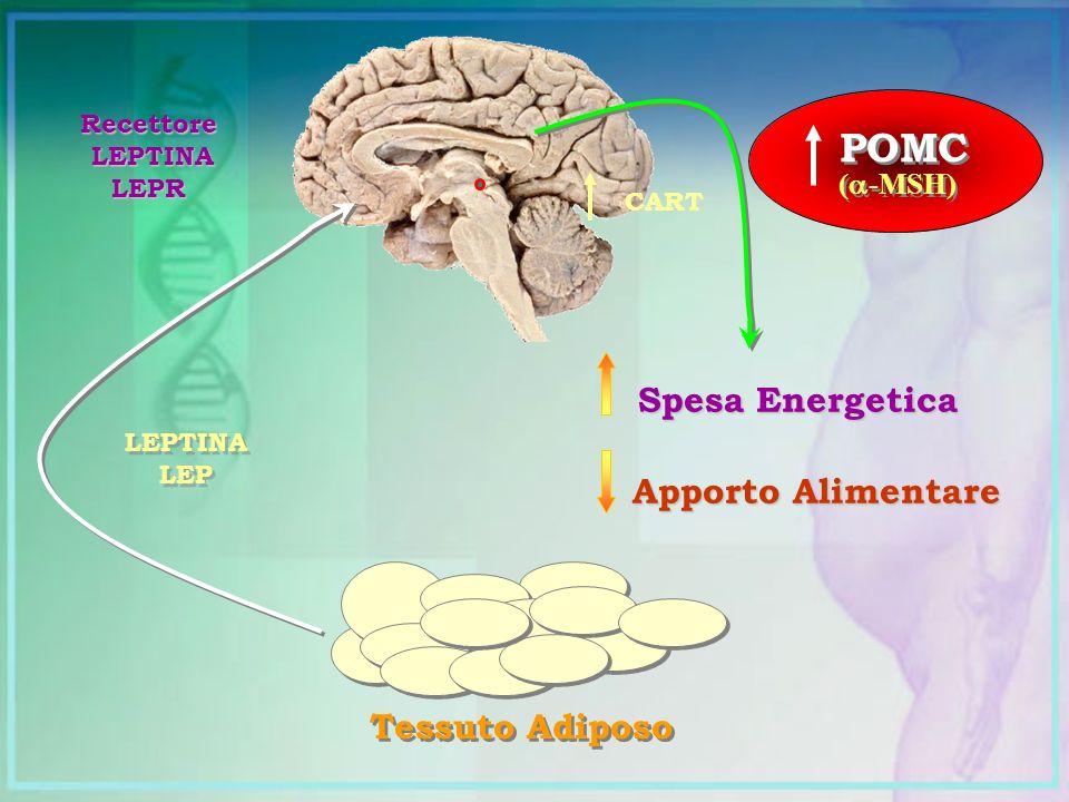 POMC Spesa Energetica Apporto Alimentare Tessuto Adiposo (-MSH)
