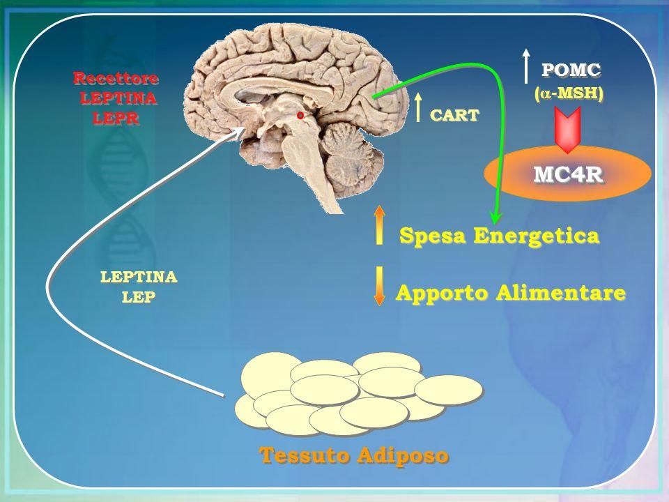 MC4R Spesa Energetica Apporto Alimentare Tessuto Adiposo