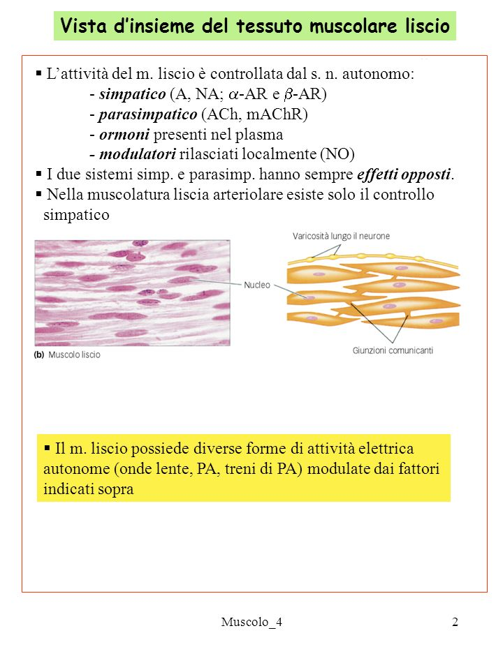 La cellula muscolare liscia ed il suo apparato contrattile for Quella del tavolo e liscia