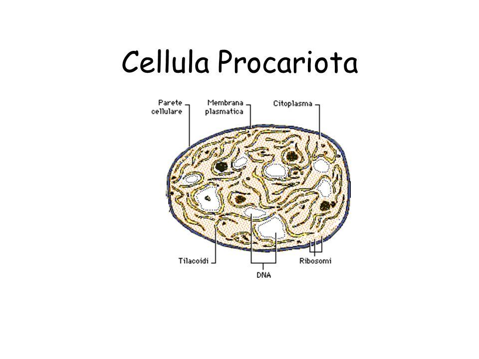Cellula Procariota