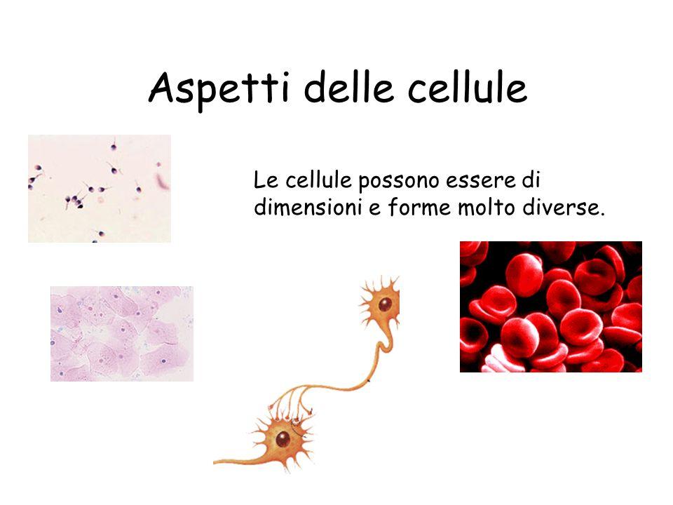 Aspetti delle cellule Le cellule possono essere di dimensioni e forme molto diverse.
