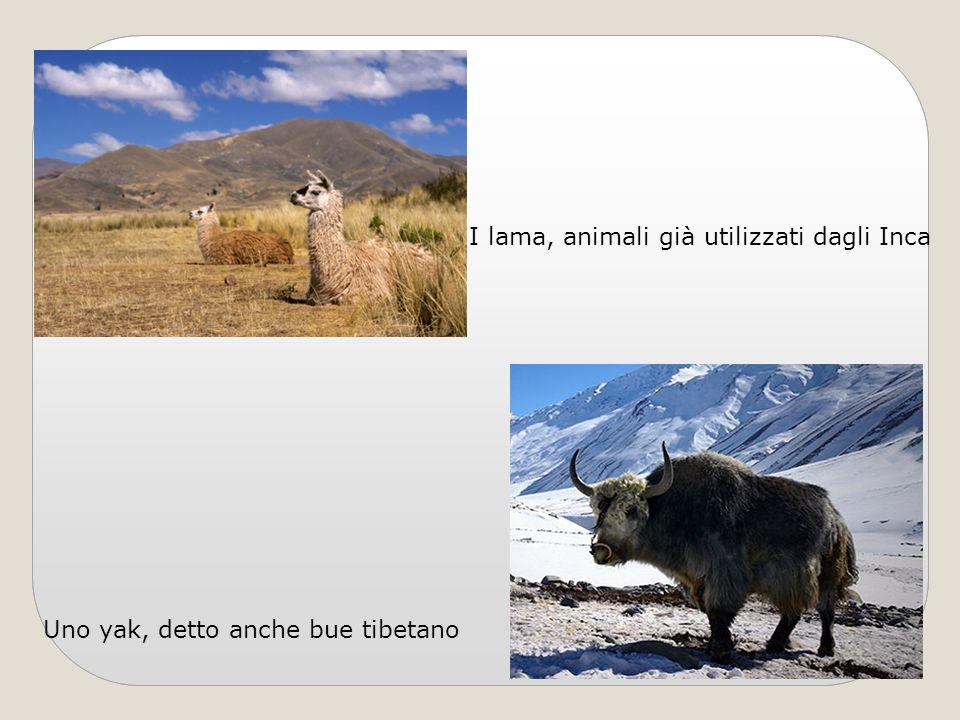 I lama, animali già utilizzati dagli Inca