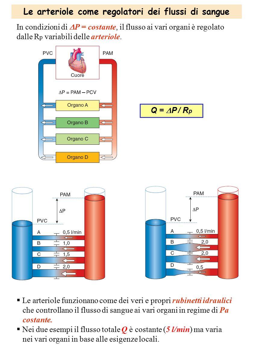 Le arteriole come regolatori dei flussi di sangue