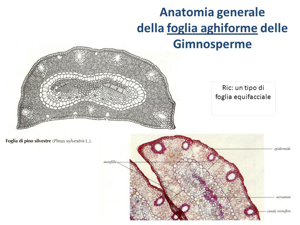 Lujo Anatomía Del Pinus Elaboración - Anatomía de Las Imágenesdel ...