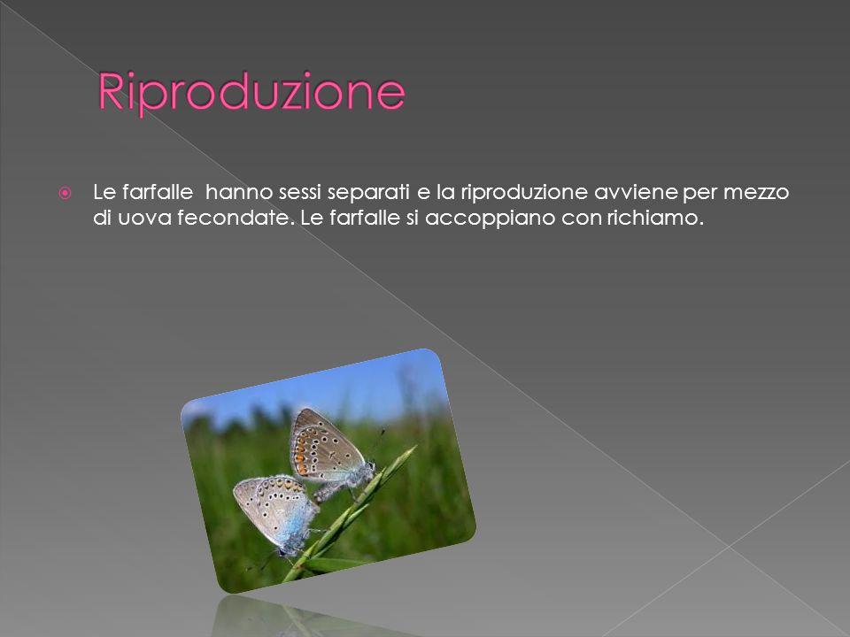 Riproduzione Le farfalle hanno sessi separati e la riproduzione avviene per mezzo di uova fecondate.