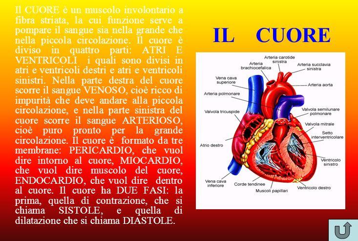 Il CUORE è un muscolo involontario a fibra striata, la cui funzione serve a pompare il sangue sia nella grande che nella piccola circolazione. Il cuore è diviso in quattro parti: ATRI E VENTRICOLI i quali sono divisi in atri e ventricoli destri e atri e ventricoli sinistri. Nella parte destra del cuore scorre il sangue VENOSO, cioè ricco di impurità che deve andare alla piccola circolazione, e nella parte sinistra del cuore scorre il sangue ARTERIOSO, cioè puro pronto per la grande circolazione. Il cuore è formato da tre membrane: PERICARDIO, che vuol dire intorno al cuore, MIOCARDIO, che vuol dire muscolo del cuore, ENDOCARDIO, che vuol dire dentro al cuore. Il cuore ha DUE FASI: la prima, quella di contrazione, che si chiama SISTOLE, e quella di dilatazione che si chiama DIASTOLE.