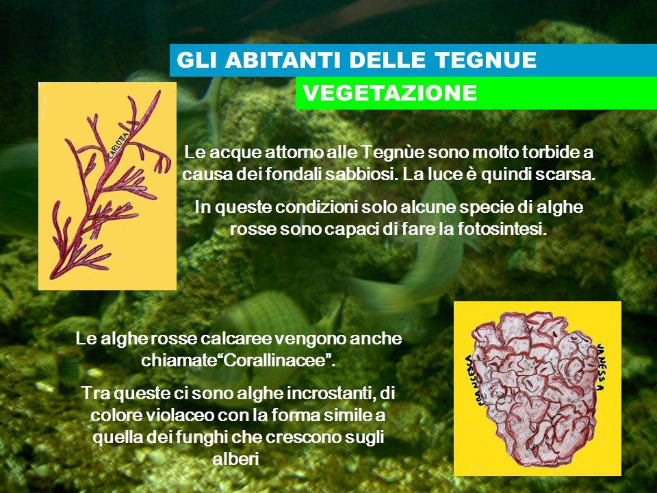 Le alghe rosse calcaree vengono anche chiamate Corallinacee .