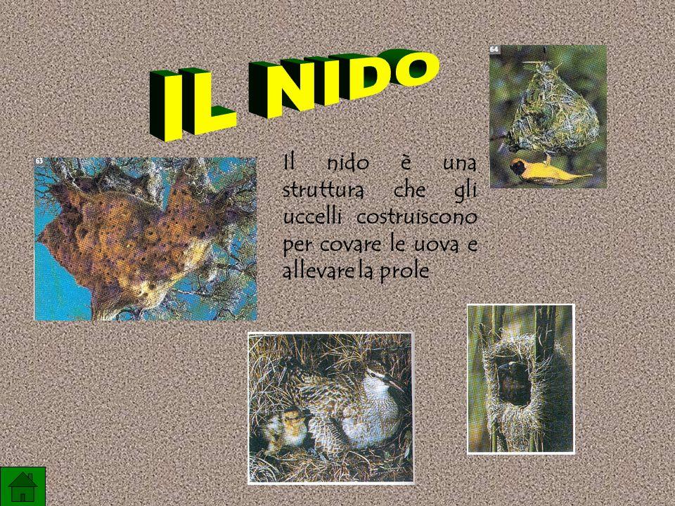 IL NIDO Il nido è una struttura che gli uccelli costruiscono per covare le uova e allevare la prole