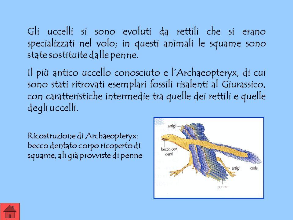 Gli uccelli si sono evoluti da rettili che si erano specializzati nel volo; in questi animali le squame sono state sostituite dalle penne.