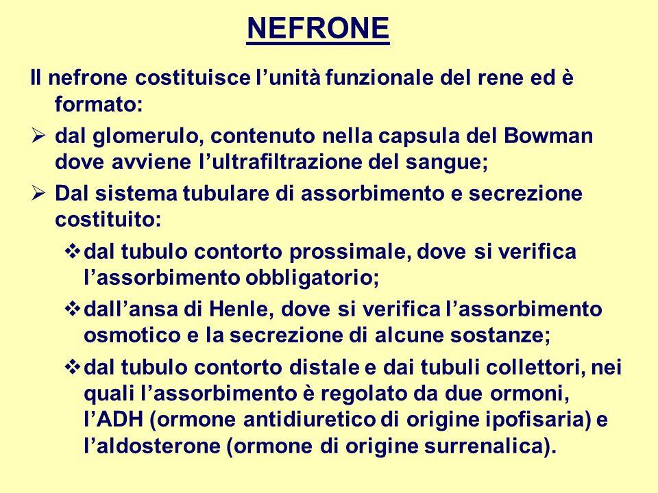 NEFRONE Il nefrone costituisce l'unità funzionale del rene ed è formato:
