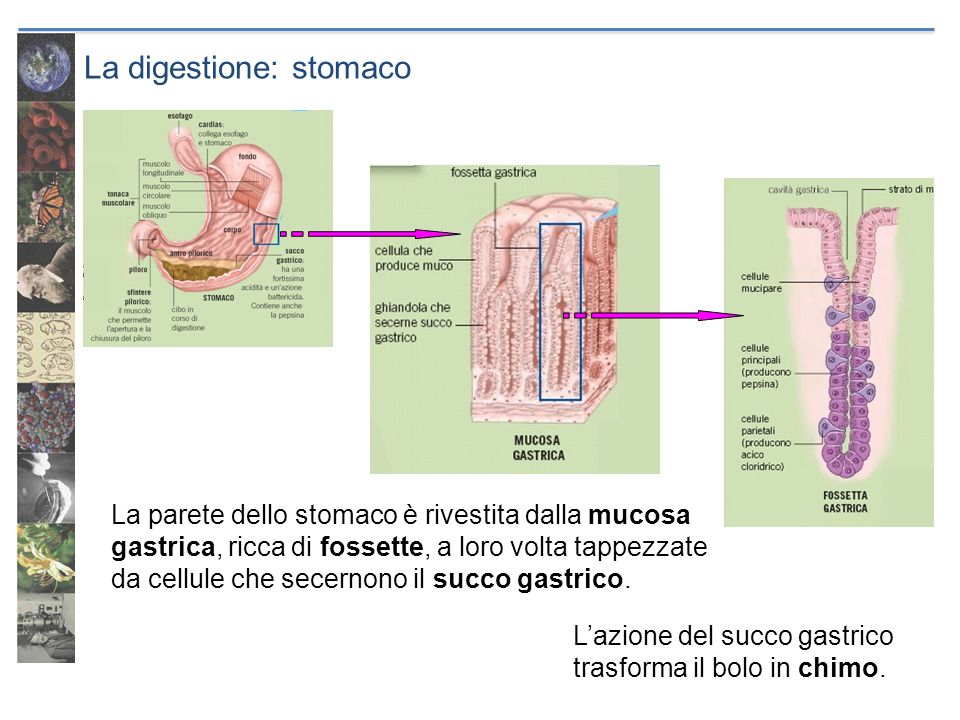 La digestione: stomaco