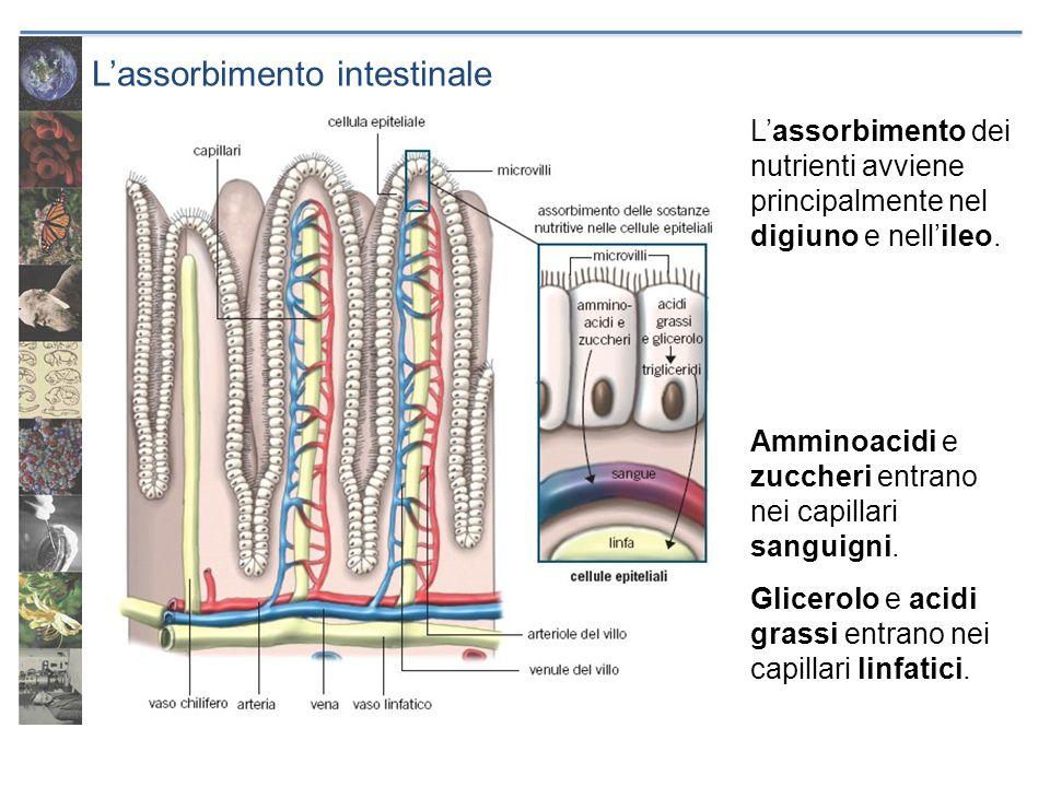 L'assorbimento intestinale