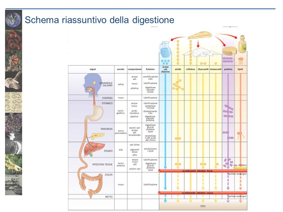 Schema riassuntivo della digestione