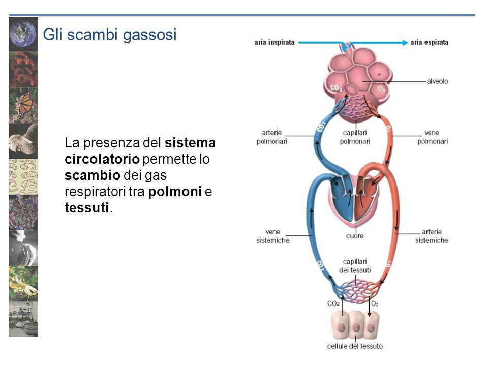 Gli scambi gassosi La presenza del sistema circolatorio permette lo scambio dei gas respiratori tra polmoni e tessuti.