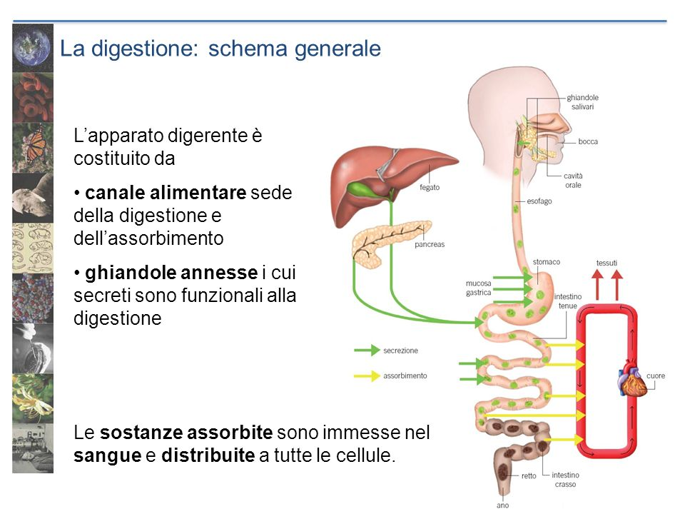 La digestione: schema generale