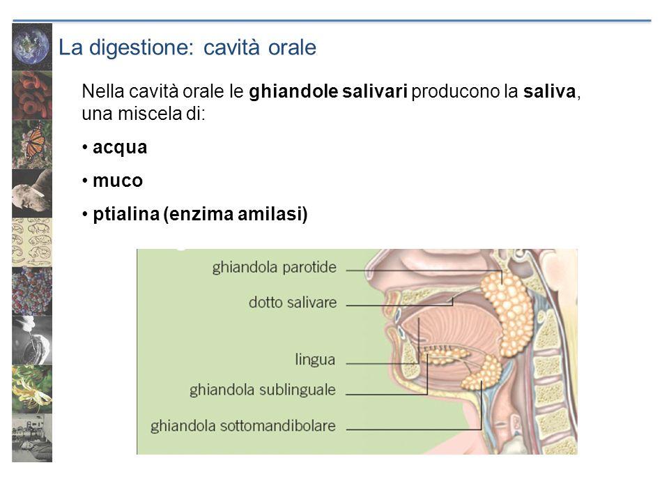 La digestione: cavità orale