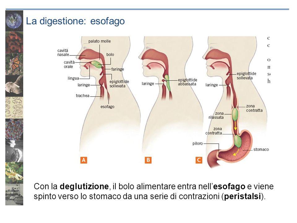 La digestione: esofago