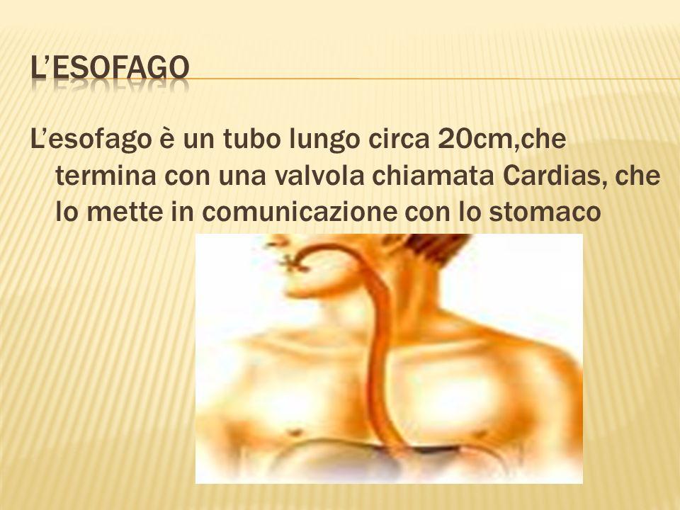 L'esofago L'esofago è un tubo lungo circa 20cm,che termina con una valvola chiamata Cardias, che lo mette in comunicazione con lo stomaco.