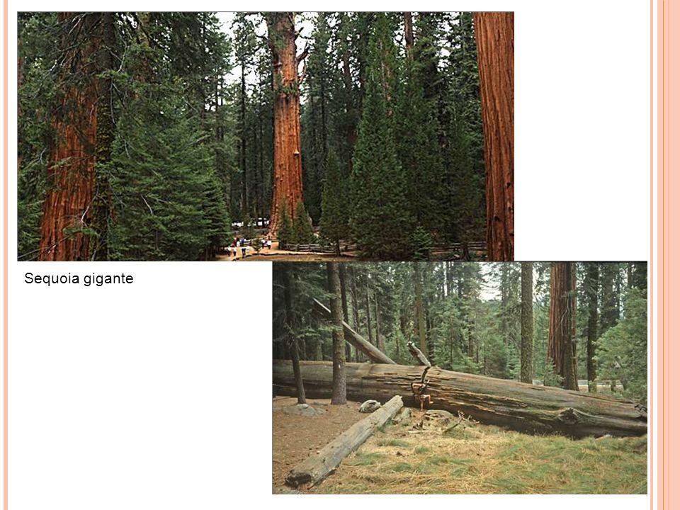 Sequoia gigante 7