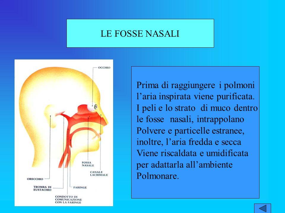 LE FOSSE NASALI Prima di raggiungere i polmoni l'aria inspirata viene purificata. I peli e lo strato di muco dentro le fosse nasali, intrappolano.