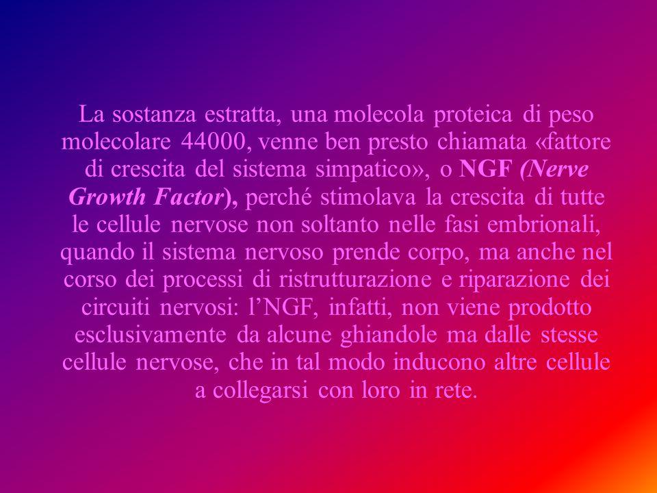 La sostanza estratta, una molecola proteica di peso molecolare 44000, venne ben presto chiamata «fattore di crescita del sistema simpatico», o NGF (Nerve Growth Factor), perché stimolava la crescita di tutte le cellule nervose non soltanto nelle fasi embrionali, quando il sistema nervoso prende corpo, ma anche nel corso dei processi di ristrutturazione e riparazione dei circuiti nervosi: l'NGF, infatti, non viene prodotto esclusivamente da alcune ghiandole ma dalle stesse cellule nervose, che in tal modo inducono altre cellule a collegarsi con loro in rete.
