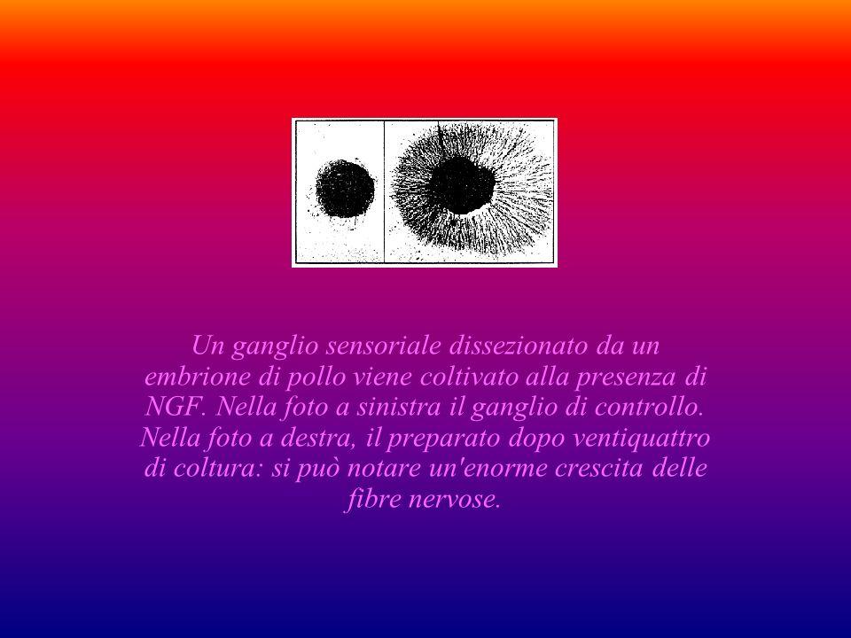 Un ganglio sensoriale dissezionato da un embrione di pollo viene coltivato alla presenza di NGF.