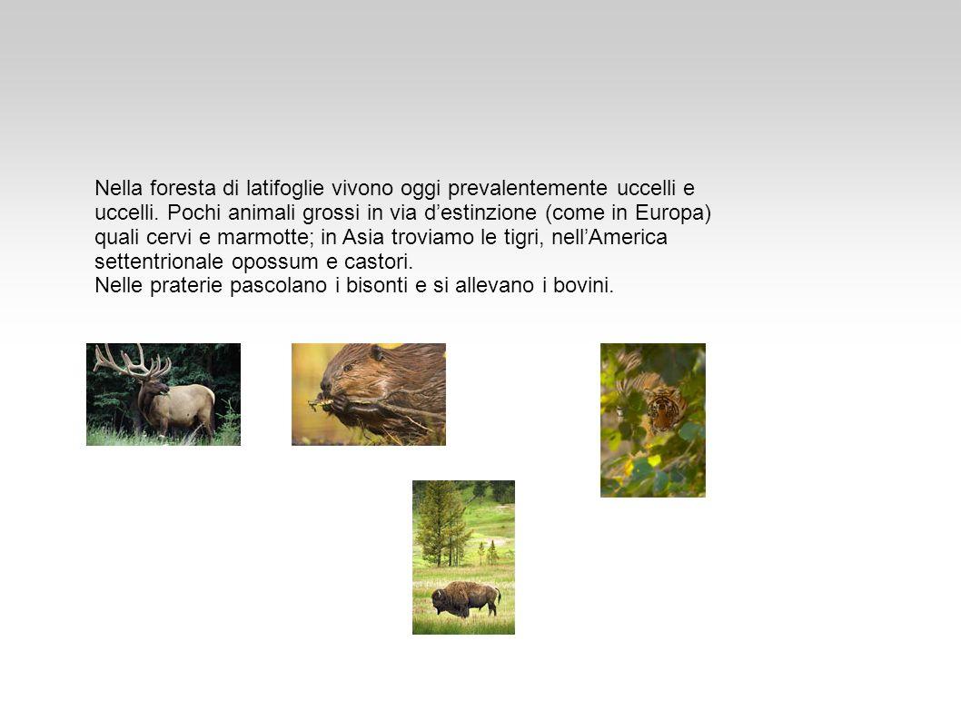 Nella foresta di latifoglie vivono oggi prevalentemente uccelli e uccelli. Pochi animali grossi in via d'estinzione (come in Europa) quali cervi e marmotte; in Asia troviamo le tigri, nell'America settentrionale opossum e castori.