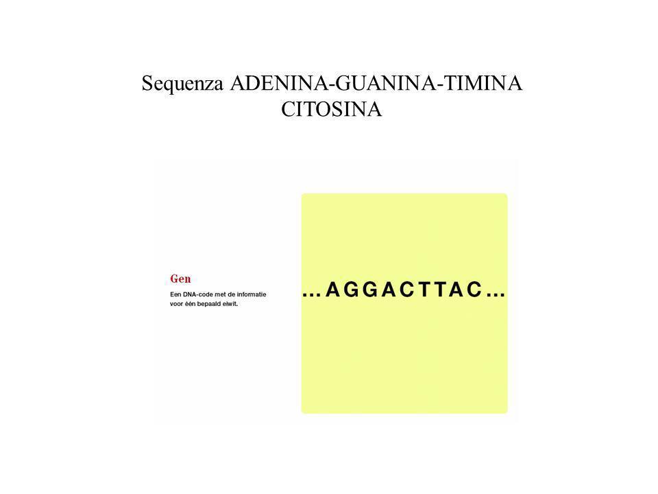 Sequenza ADENINA-GUANINA-TIMINA CITOSINA