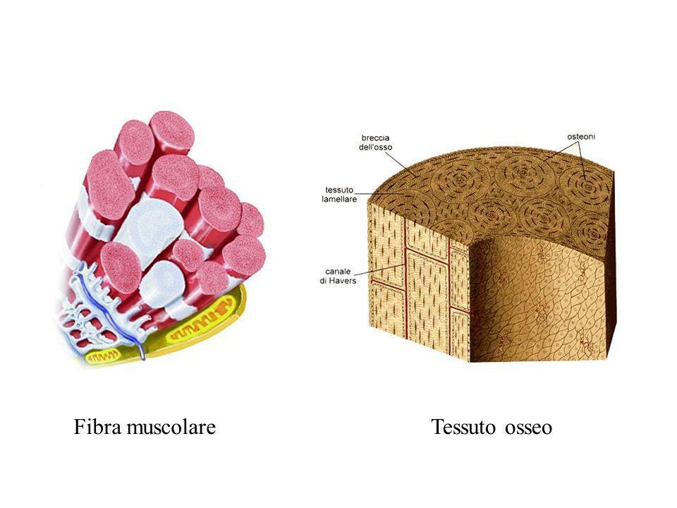 Fibra muscolare Tessuto osseo