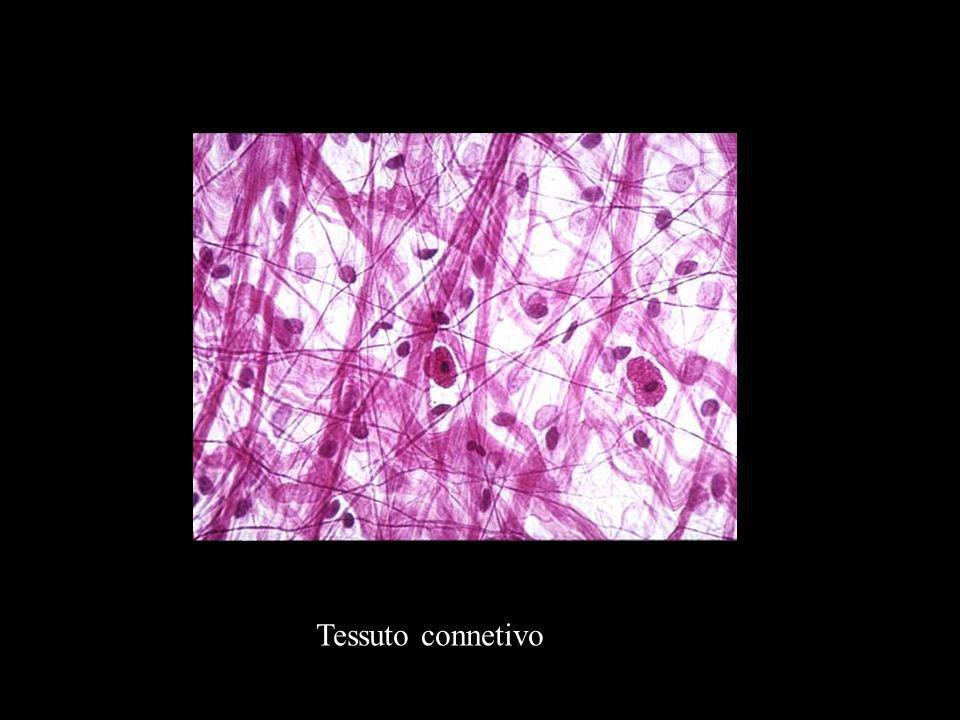 Tessuto connetivo