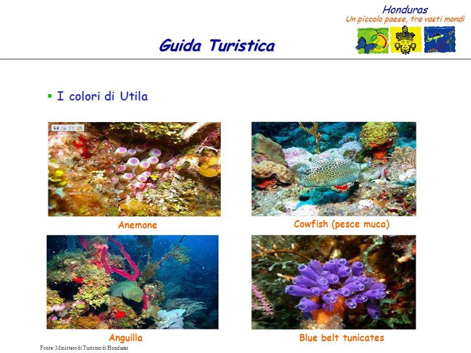 I colori di Utila Anemone Cowfish (pesce muca) Anguilla