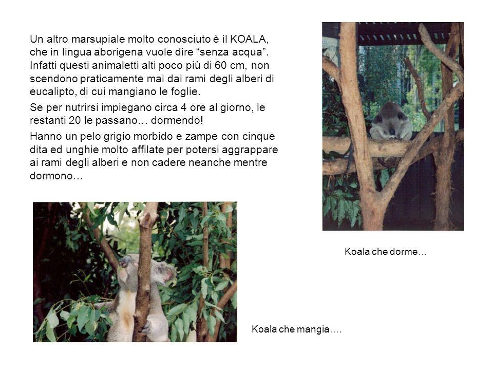 Un altro marsupiale molto conosciuto è il KOALA, che in lingua aborigena vuole dire senza acqua . Infatti questi animaletti alti poco più di 60 cm, non scendono praticamente mai dai rami degli alberi di eucalipto, di cui mangiano le foglie.