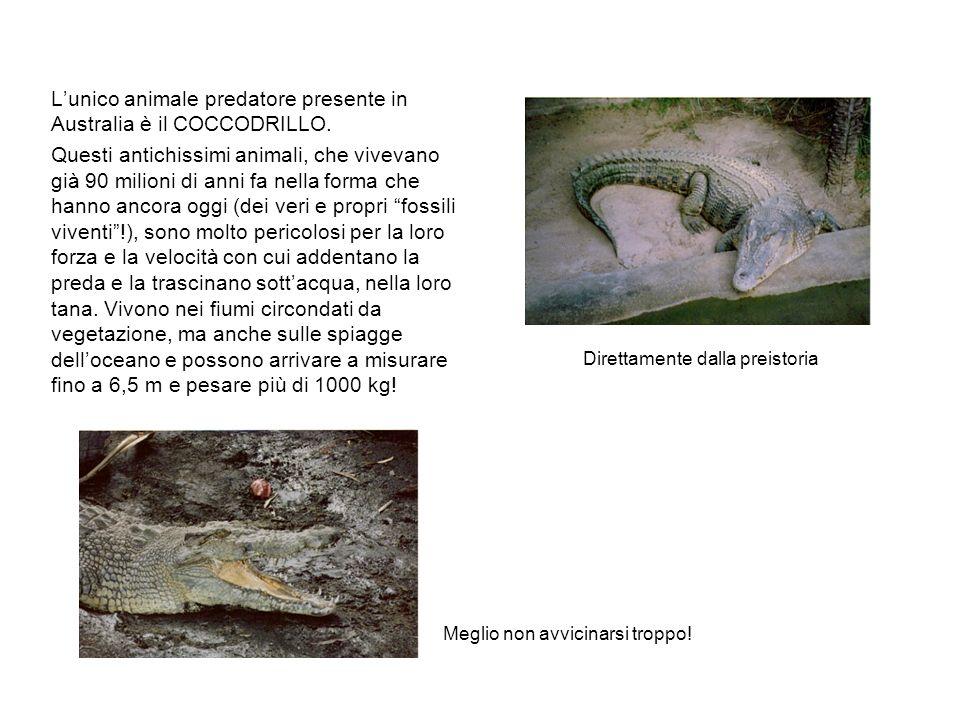 L'unico animale predatore presente in Australia è il COCCODRILLO.