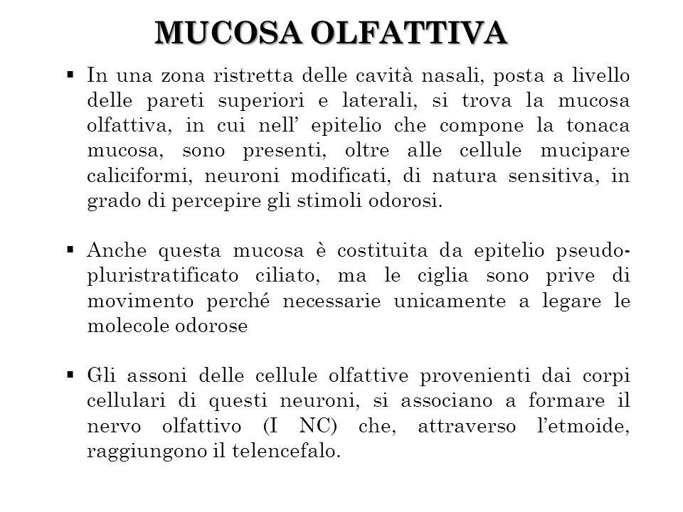 MUCOSA OLFATTIVA