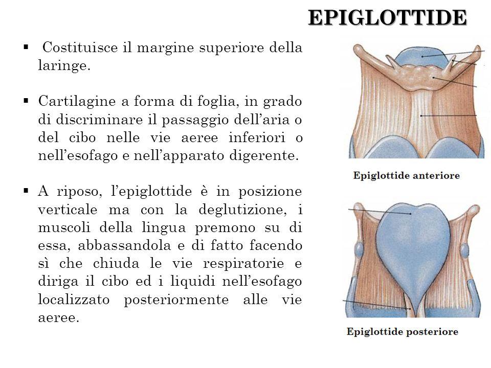 EPIGLOTTIDE Costituisce il margine superiore della laringe.