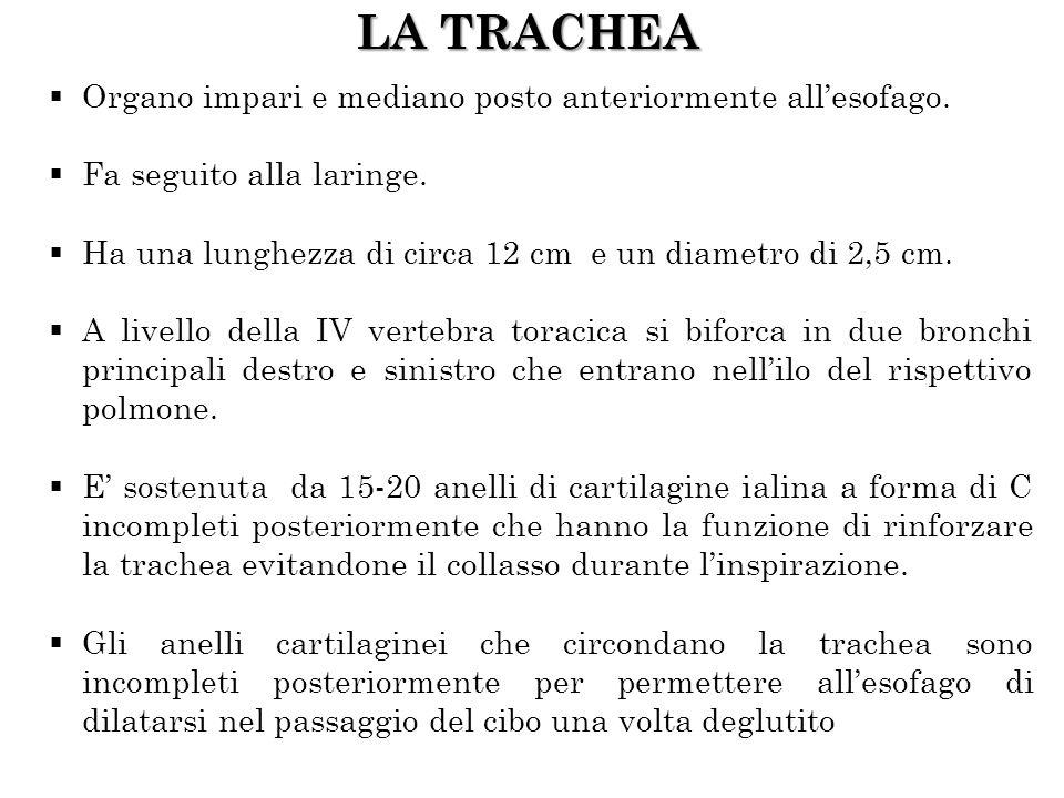 LA TRACHEA Organo impari e mediano posto anteriormente all'esofago.