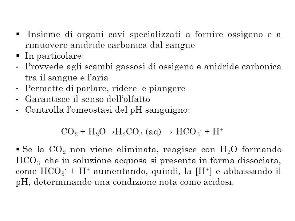 Insieme di organi cavi specializzati a fornire ossigeno e a rimuovere anidride carbonica dal sangue