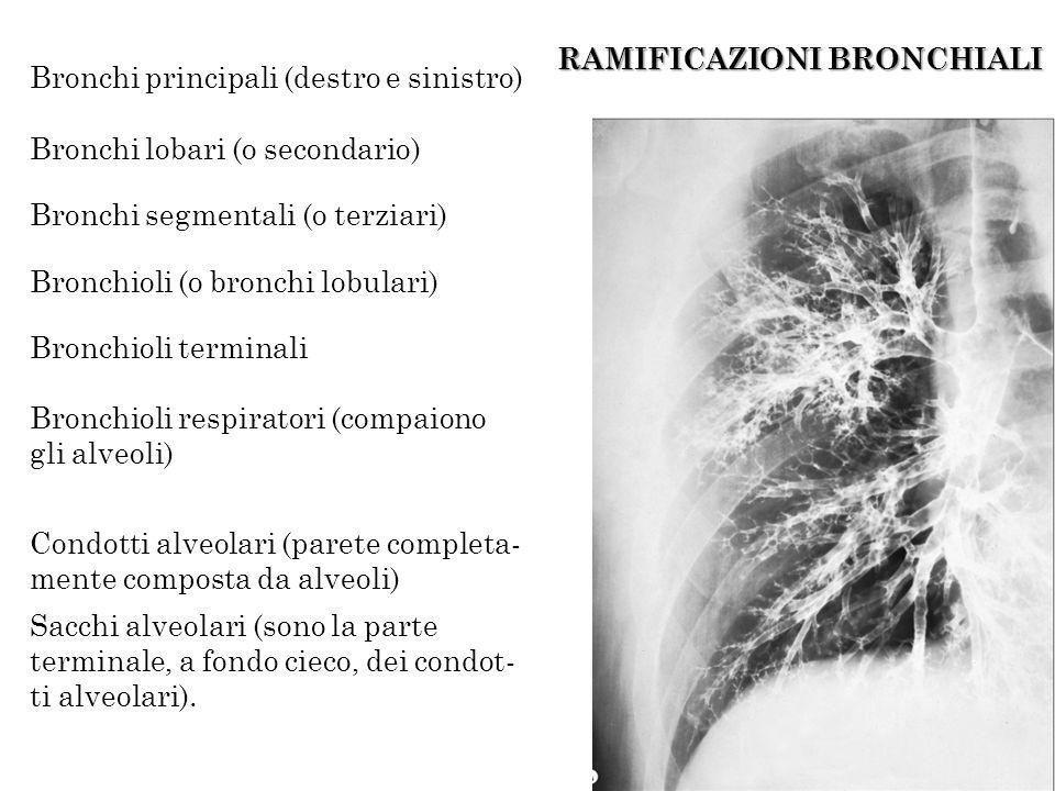 RAMIFICAZIONI BRONCHIALI