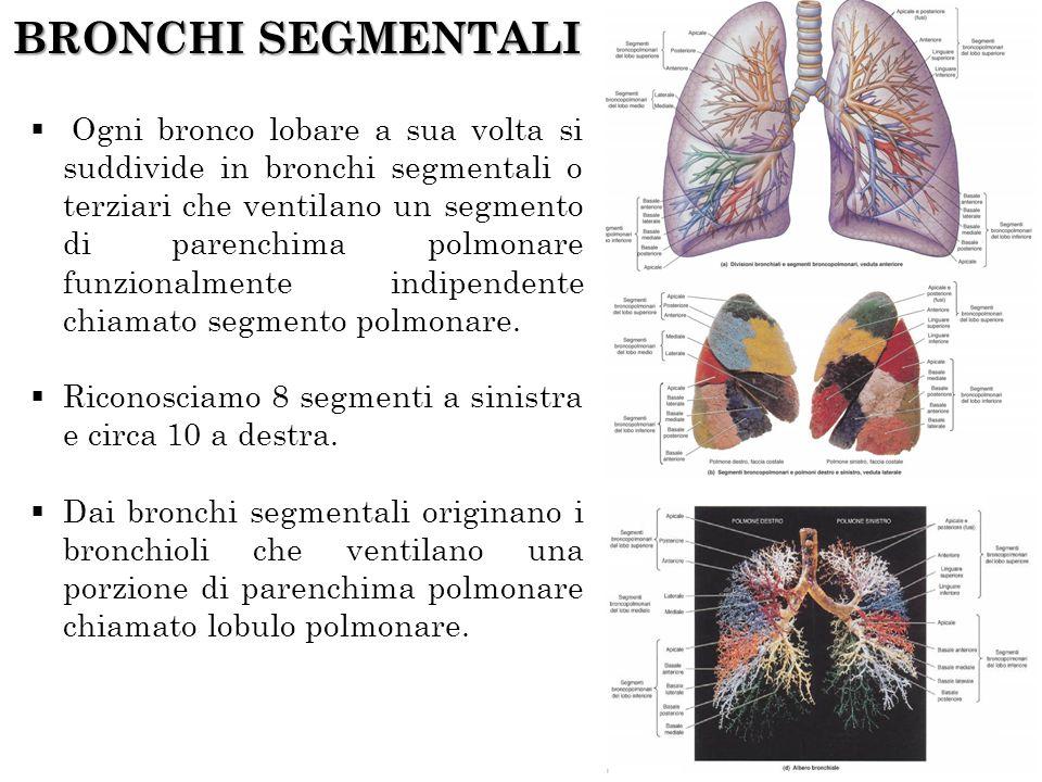BRONCHI SEGMENTALI
